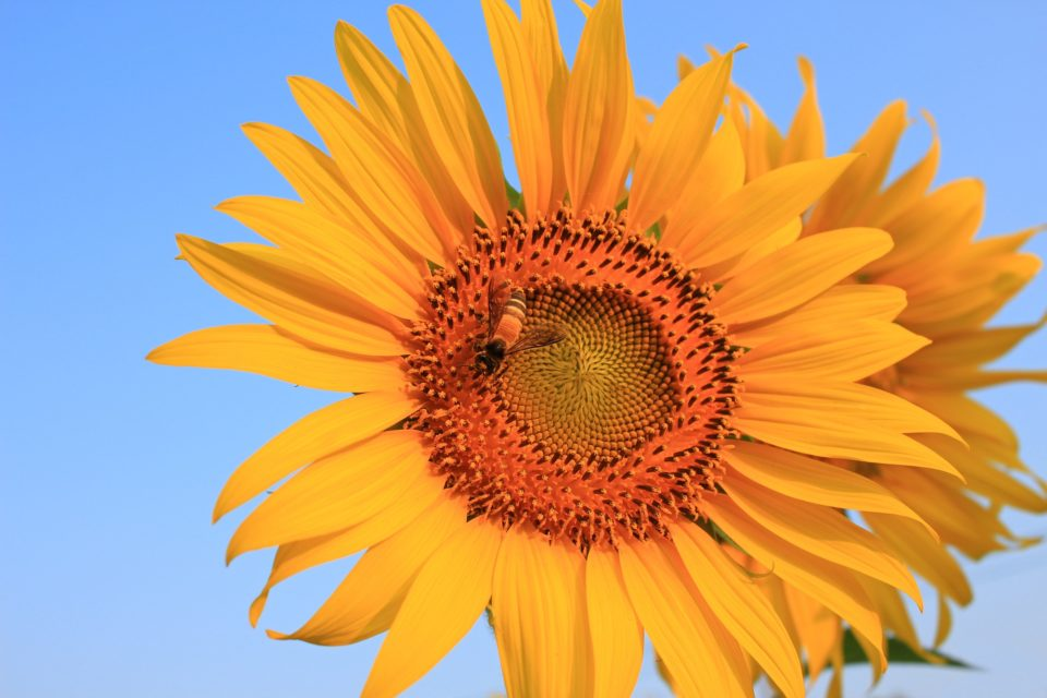 Bee that pollinate sunflower