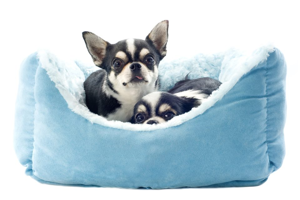 chihuahuas and dog bed