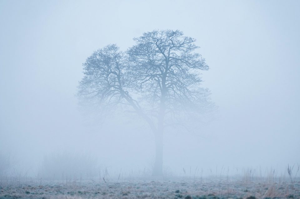 Alone tree, rising from a fog in early foggy winter morning