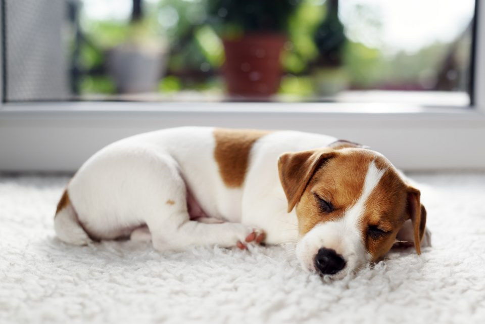 Jack russel terrier puppy sleeping on white carped