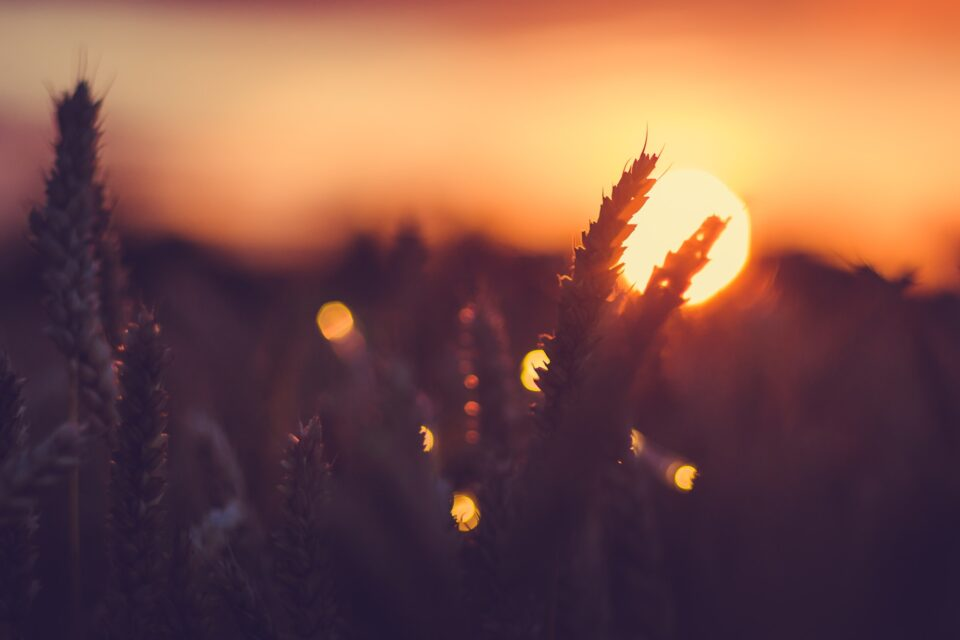 Silhouette of wheat ears in front of sun at sunset light. Natural light back lit. Beautiful sun