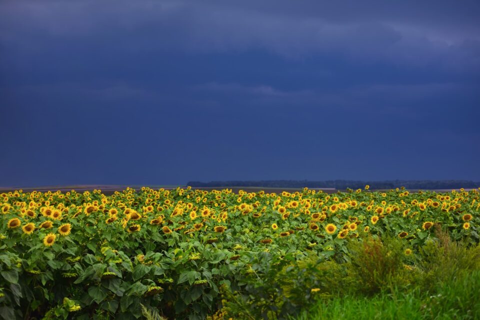 Agricultural landscape with sunflower field on the background of
