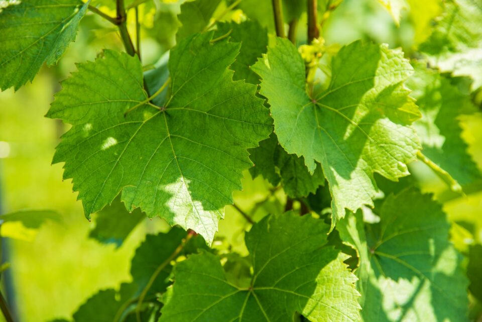 Wine grape plants leaves. Sunny day green background. Sunny day