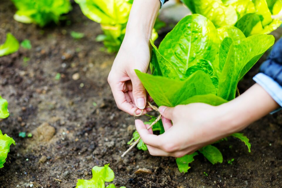 Agriculture of lettuce