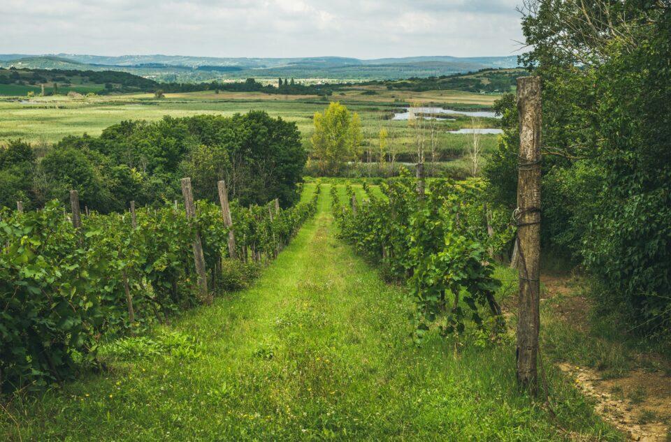 Wineyards in Tihany peninsula at lake Balaton, Hungary