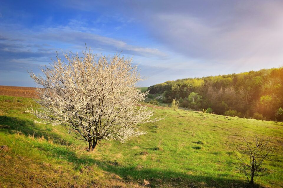 Single blossoming tree in spring. Spring landscape.