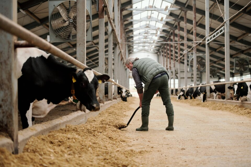 Mature worker of farm putting livestock feed for cows by paddocks with cattle