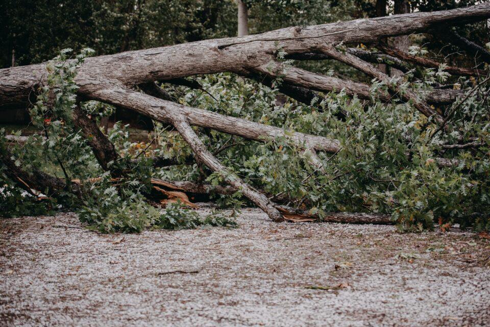 Fallen tree after a thunderstorm